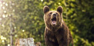 Comitetul pentru Situații de Urgență Gorj a trasat sarcinile pentru intervenția la urșii ajunși în zonele locuite