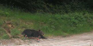 Gorj: Urs prins într-un cablu, la 100 de metri de un sat, descoperit de un jandarm (Sursă Foto: News.ro)